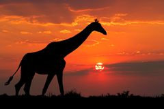 Giraffe silhouette. A giraffe silhouetted against a dramatic sunset with clouds, South Africa Royalty Free Stock Image