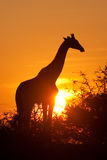 Giraffe silhouette. A silhouette of a giraffe at sunset Royalty Free Stock Images