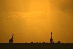 Giraffe Silhouette - African Wildlife - Golden Sunset Stock Photography