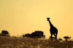Giraffe silhouette stock photo