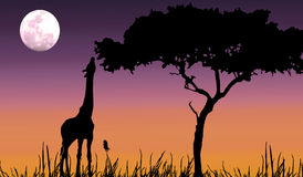 Giraffe silhouette in purple sunset. Giraffe reaching for some food in silhouette with purple sunset and moon Stock Images