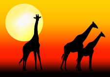 Giraffe silhouette in sunset. Three Giraffes silhouettes in sunset Royalty Free Stock Photo