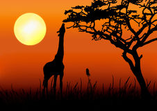 Giraffe silhouette in sunset. Giraffe eating silhouette in sunset Royalty Free Stock Photos