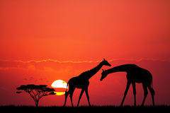 Giraffe silhouette at sunset Royalty Free Stock Photos
