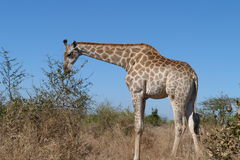 Giraffe silhouetted against   blue  sky. This  giraffe  was photographed  in the Kruger  National Park  whilst  eating   leaves  of  a  small  bush Royalty Free Stock Photos