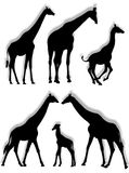 Giraffe silhouettes. In different poses and attitudes Royalty Free Stock Photo