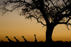 Giraffe silhouettes at sunset. Etosha National Par. Four Giraffes (Giraffa camelopardalis) walking in a line, and an acacia tree, silhouetted against an orange Stock Images
