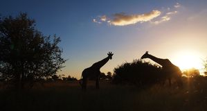 Giraffe silhoutte at sunset Royalty Free Stock Image