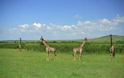 Giraffe simétrico imagem de stock