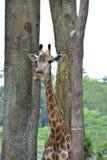 Giraffe. A Giraffe in Singapore zoo Royalty Free Stock Images