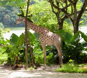 Giraffe in Singapore Zoo Stock Photo