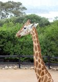 Giraffe. Singlr Adult Giraffe  in a australian zoo Royalty Free Stock Images