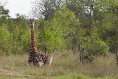 Giraffe sits in African plains Stock Photo