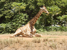 Giraffe Sits on Grassland with Plants, Trees, Blue Sky Backgroun Royalty Free Stock Images
