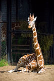 Giraffe sitting Royalty Free Stock Photography