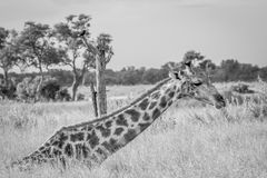 Giraffe sitting and eating grass. Royalty Free Stock Images