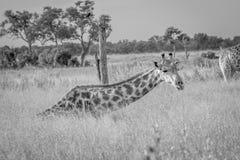 Giraffe sitting and eating grass. Royalty Free Stock Photo