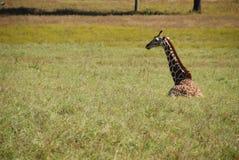 Giraffe sitting in grass Royalty Free Stock Image