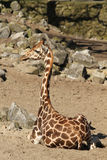 Giraffe sitting on the ground Stock Images
