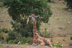 Giraffe sitting on the plains in Africa. In a game reserve in Kenya. Rare to see a sitting giraffe in the daytime Royalty Free Stock Image