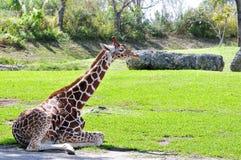 Giraffe sitting in zoo Royalty Free Stock Photography
