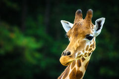 The giraffe Royalty Free Stock Images