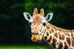 The giraffe Royalty Free Stock Photo