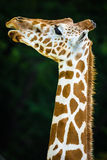The giraffe Stock Photos