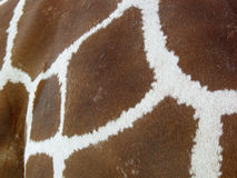 Giraffe skin. Closeup of giraffe skin Royalty Free Stock Image