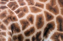 Giraffe skin. Close up of a giraffe's skin Stock Photo