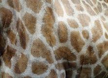 Giraffe skin Royalty Free Stock Photo