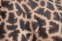 Giraffe Skin Closeup. Closeup of the skin of a Giraffe's body royalty free stock images