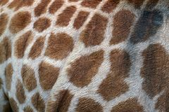 Giraffe skin detail Stock Photography