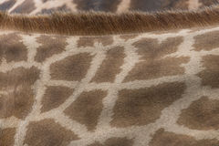 Giraffe Skin and Fur Stock Photo