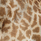 Giraffe skin Royalty Free Stock Image