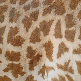Giraffe skin Royalty Free Stock Photography