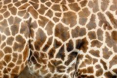 Giraffe skin Royalty Free Stock Photography