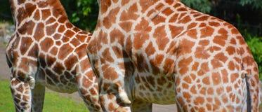 The giraffe skin Royalty Free Stock Photography