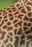 Giraffe skin pattern Stock Photography