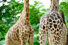Giraffe skin patterns Stock Image