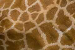 Giraffe skin texture Stock Photography