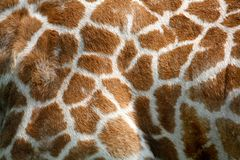 Giraffe skin texture. Textured skin of giraffe, background Royalty Free Stock Photography