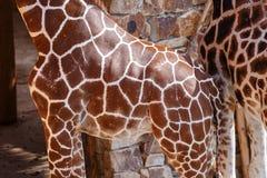 Giraffe Skin Texture Royalty Free Stock Photo