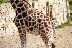Giraffe Skin Texture Royalty Free Stock Photography