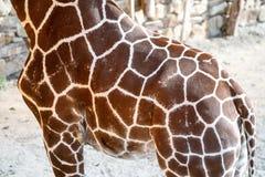 Giraffe Skin Texture Stock Image