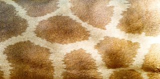 Giraffe skin texture Stock Photography