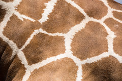 Giraffe skin texture close up Royalty Free Stock Images
