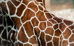 Giraffe skin Royalty Free Stock Photos