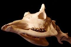 Giraffe skull Royalty Free Stock Images