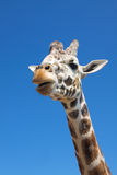 Giraffe and Sky Royalty Free Stock Photos